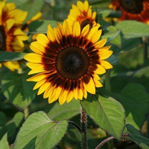 sunflower pro cut bicolor