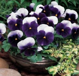 pansy-beaconsfield1