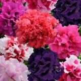 Petunia Double Glorious Mix -10pelleted