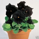 Pansy Blackjack – 10biji