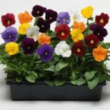 Pansy Clear Crystal Mixed -10biji