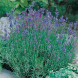 Lavender Munstead Strain – 20biji