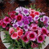 Dianthus Baby Doll Mixed – 25 biji