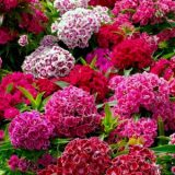 Sweet William Double Mixed – 20biji