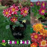 Dahlia Harlequin Mixed – 5biji