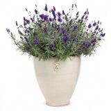 Lavender English – 20 biji