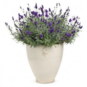 Lavender English – 20 biji