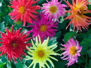 Dahlia Cactus mixed -7biji