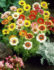 Painted Daisy – 20biji