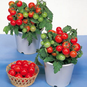Tomato red robin -5biji