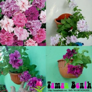 Petunia Hybrid Double Mixed -30biji