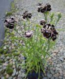 Dianthus Chianti Double- 15biji