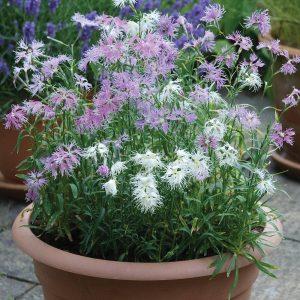 Dianthus Lovelines Mixed – 20 biji