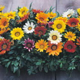 Gazania Sunshine Mixed -7biji
