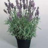 Lavender Hidcote Blue – 20biji