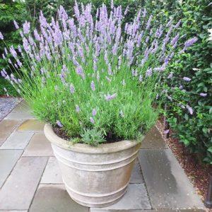 Lavender Provence Blue -20biji