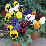Pansy Swiss Giant Mixed – 20biji