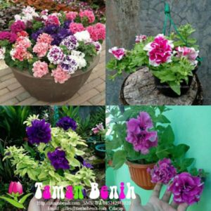 Petunia Double Pirrouette Mixed – 7pelleted seed