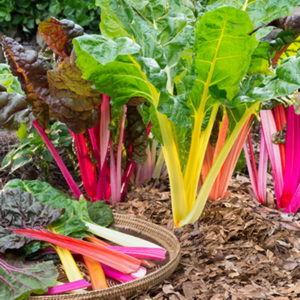 Swiss Chard Mixed -20biji