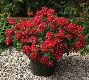 Verbena Red With Eye -10biji
