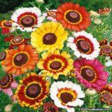 Chrysanthemum Tricolor mixed -20biji