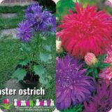 Aster Ostrich Feather Mixed -15biji