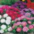 aster colour carpet – 15 biji
