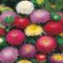 Aster Pompon Mixed – 15 biji