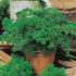 Parsley curled – 50biji