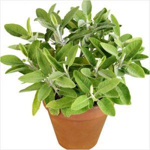 Jual benih Sage. Sage atau salvia officinalis adalah sejenis herbs ayng digunakan untuk bumbu masakan eropa. Sage juga memiliki manfaat meningkatkan daya ...
